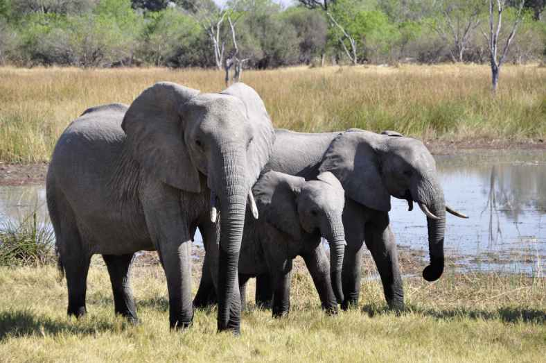 elephant-africa-okavango-delta-animal-86413.jpeg