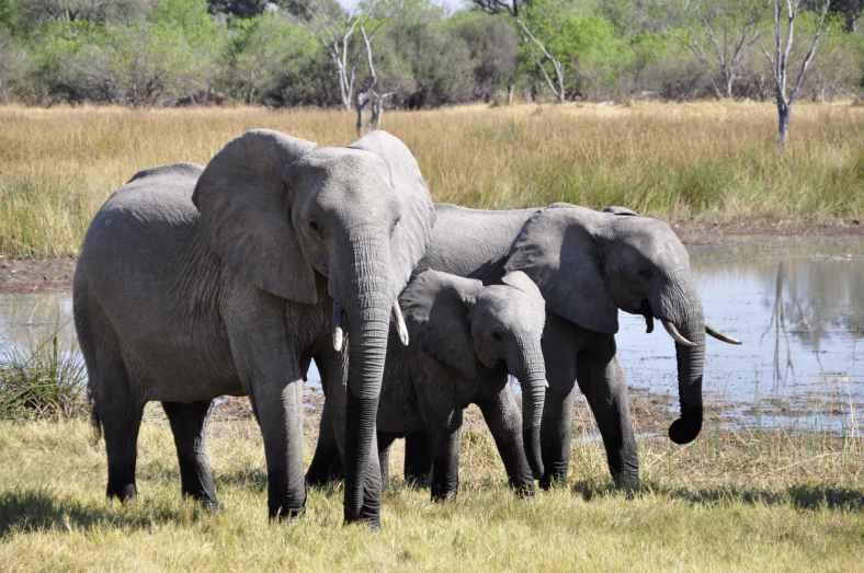 elephant-africa-okavango-delta-animal-86413.jpeg