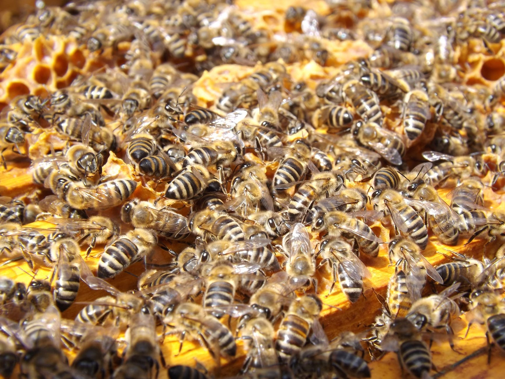 swarm insects bees honey